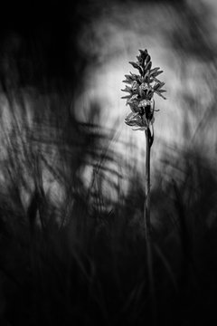 Wild orchid in black & white