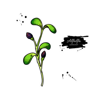 Alfalfa sprout vector drawing. Kai wah-rei illustration. Isolated sketch of baby plant.