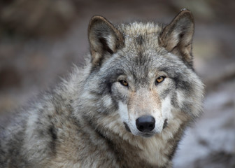 A lone Timber wolf or Grey Wolf Canis lupus portrait in the winter in Canada