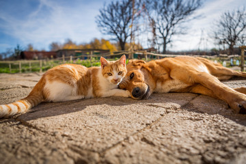 dog and cat play together. cat and dog lying outside in the yard. kitten sucks dog breast milk. dog and cat best friends. love between animals.