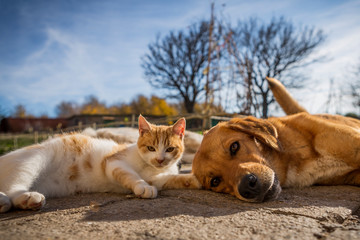 Foto op Plexiglas Kat dog and cat play together. cat and dog lying outside in the yard. kitten sucks dog breast milk. dog and cat best friends. love between animals.