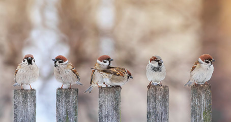 Papiers peints Oiseau flock of small funny birds sparrows sit on a wooden fence in a row and have fun chatter