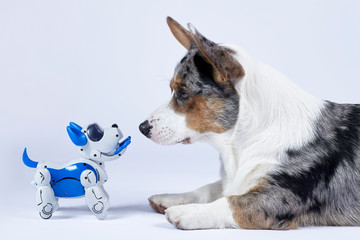 Two dogs, real corgi and electronic interactive puppy toy look to each other. High technology...