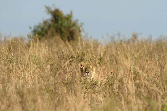 Beautiful lioness camouflaging behind the tall grass on a field