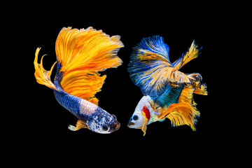Foto op Plexiglas Vissen The moving moment beautiful of yellow and blue siamese betta fish or fancy betta splendens fighting fish in thailand on black background. Thailand called Pla-kad or half moon biting fish.