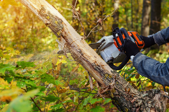 Lumberjack cuts down a lying tree with a chainsaw in the forest, close-up on the process of cutting down. Concept of professional logging. Deforestation.