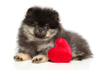 Wall Mural - Pomeranian Spitz puppy with red Valentine heart