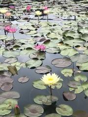 Wall Murals Water lilies Water lilies