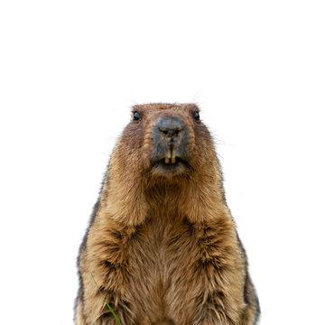 Groundhog isolated on white background