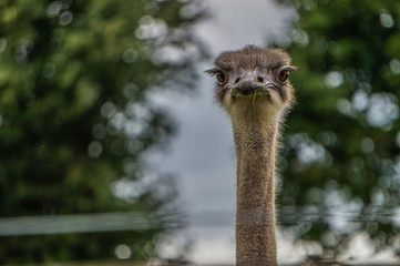 Poster Struisvogel Closeup of ostrich head and neck
