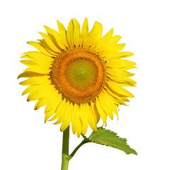 Fotobehang Zonnebloem sunflower isolated on white background