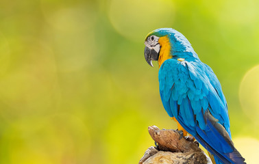 Close up Blue and Gold Macaw Perched on Branch Isolated on Background with Copy Space Fotomurales