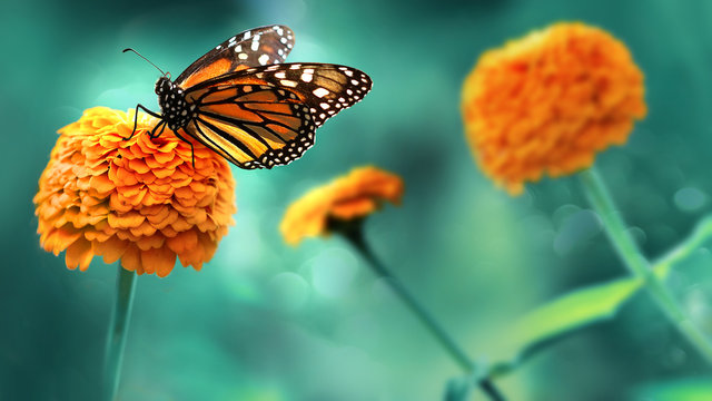 Monarch orange butterfly and  bright summer flowers on a background of blue foliage in a fairy garden. Macro artistic image.