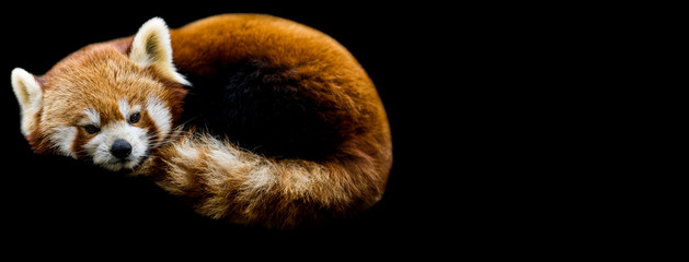 Fotobehang Panda Red panda with a black background