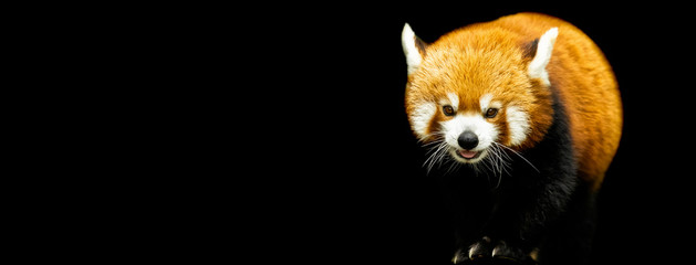 Red panda with a black background