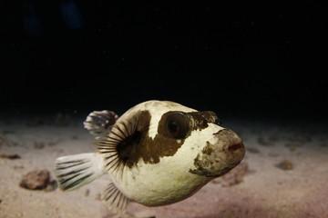 foto de buceo nocturno de pez globo