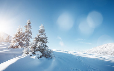 Wall Mural - Magical white spruces on a frosty day. Location Carpathian mountain, Ukraine, Europe.