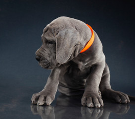 Great Dane puppy looking from the camera