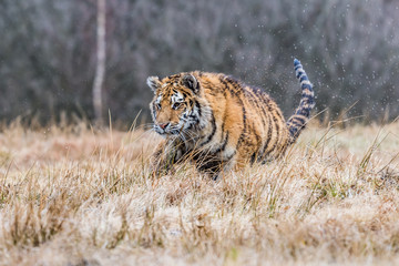 Fotobehang Tijger Siberian Tiger running. Beautiful, dynamic and powerful photo of this majestic animal. Set in environment typical for this amazing animal. Birches and meadows