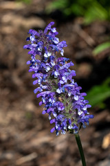 Nepeta nervosa 'Blue Moon'  a blue summer perennial flowering plant commonly known as catmint