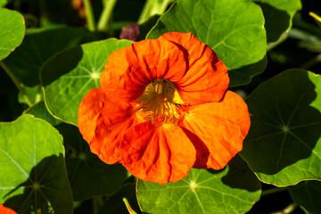 Nasturtium or tropaeolum orange a springtime summer flower plant
