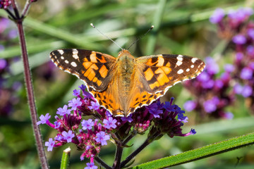 Painted Lady Butterfly (Vanessa cardui) with wings outstreached resting on a verbena bonariensis flower