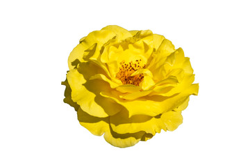 Rosa 'Korlillub' a yellow double flower summer autumn season plant cut out and isolate on a white background