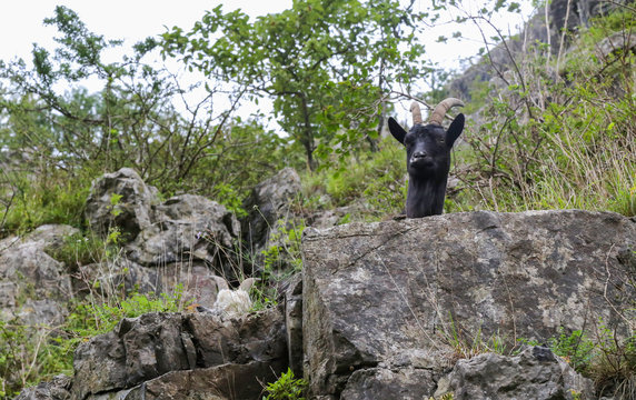 Feral Goat sticking his head over a rock at Cheddar Gorge in Somerset, UK.  The goats were introduced for conservation of the landscape