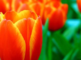 Beautiful Blooming tulips on the garden