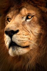 Fototapete - Detail profile lion
