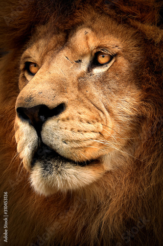 Fototapete Detail profile lion