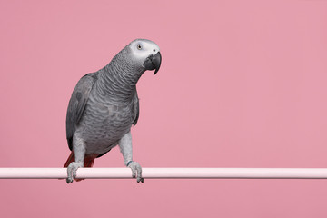 Fond de hotte en verre imprimé Perroquets Gabon African grey parrot on a pink background with space for copy seen from the side