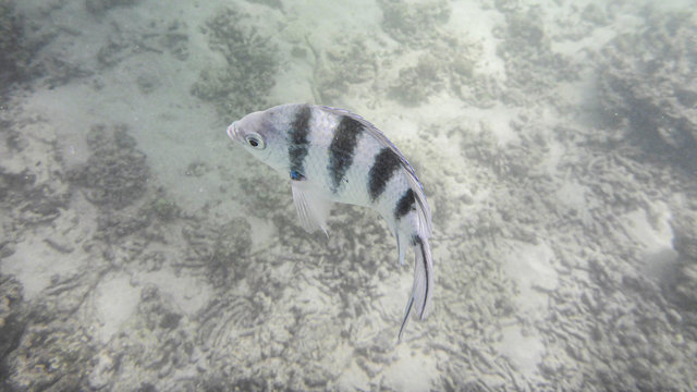 scissortail sergeant fish under the water