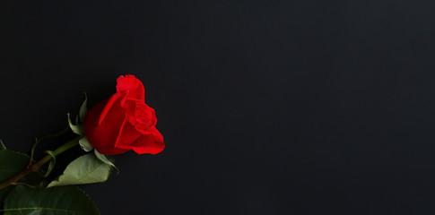 Red rose on a dark background
