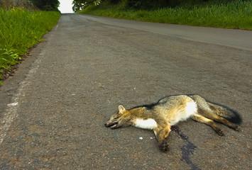 Animais atropelados por veículos na estrada