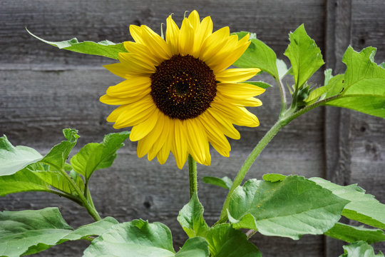 Single sunflower against an old wooden fence