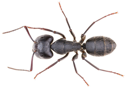 Large, black carpenter ant Camponotus vagus isolated on white background. Dorsal view of black ant.