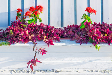 wooden flowerbed with tradescantia and red geranium