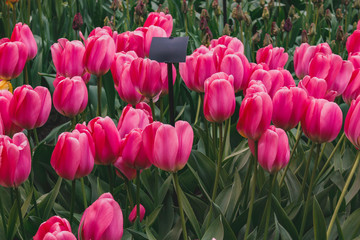 Poster Rose Wonderful field of pink tulips in park in the Netherlands
