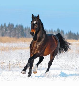 Dark bay warmblood horse runs free in winter snowy field