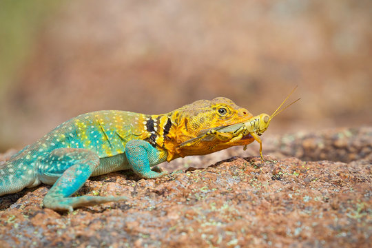 Collared Lizard with freshly captured prey - a Grasshopper ... photographed in the wild