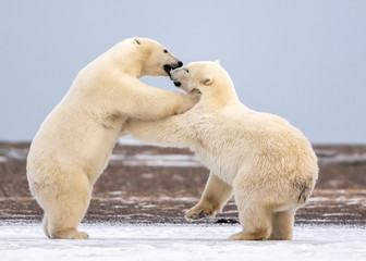 Polar Bear Cubs Playing, Kaktovik, Alaska, USA