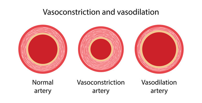 Arterial vasoconstriction and vasodilation. Comparison illustration of normal, constricted, and dilated blood vessels. Diagram of cross section of arteries. Vector illustration