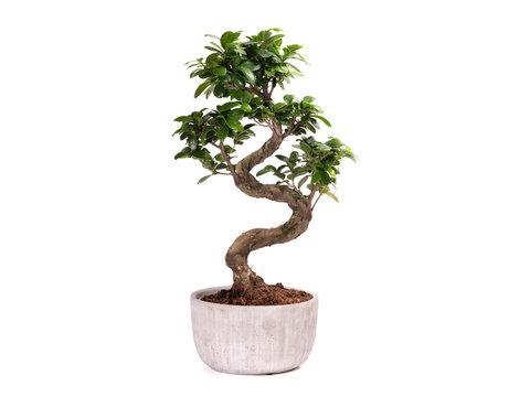 Bonsai tree potted plant