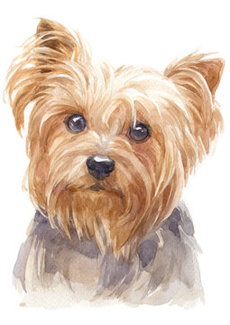 Water colour painting of York Shire Terrier 136