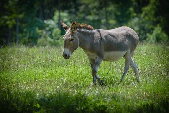 Closeup shot of a cute innocent donkey walking on the grass with blurred background