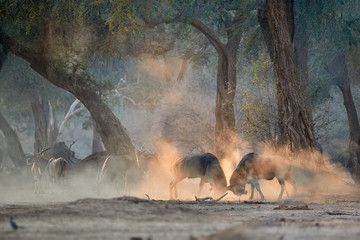 Two large male Eland antelopes, Taurotragus oryx, fighting in an orange cloud of dust backlighted by rays of morning sun. Low angle, photo of wild animals, walking safari in Mana Pools, Zimbabwe.