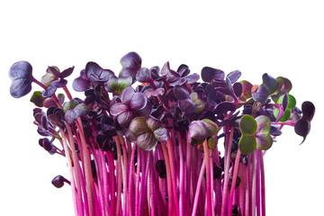 Fototapeta Fresh purple radish sprouts isolated on white. Microgreens. obraz