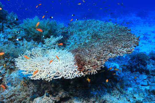 Bleached stony coral