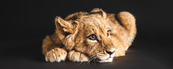 Spoed Foto op Canvas Leeuw adorable lion cub lying isolated on black, panoramic shot